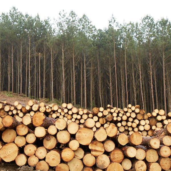 Logs of pine and eucalyptus
