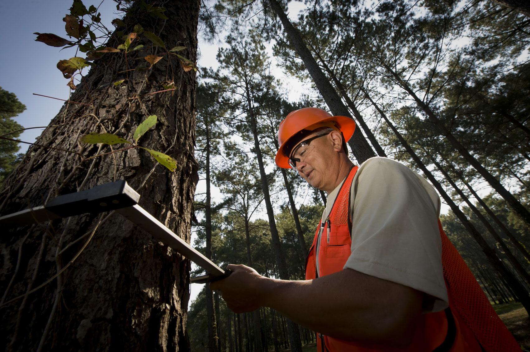 Um homem de colete laranja e capacete medindo a largura de uma árvore alta.